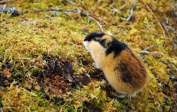Лемминг-животное-Описание-особенности-виды-образ-жизни-и-среда-обитания-лемминга-19