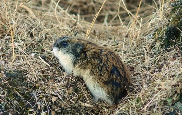Лемминг-животное-Описание-особенности-виды-образ-жизни-и-среда-обитания-лемминга-3