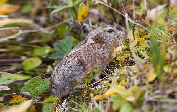 Лемминг-животное-Описание-особенности-виды-образ-жизни-и-среда-обитания-лемминга-4