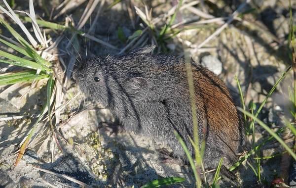Лемминг-животное-Описание-особенности-виды-образ-жизни-и-среда-обитания-лемминга-7