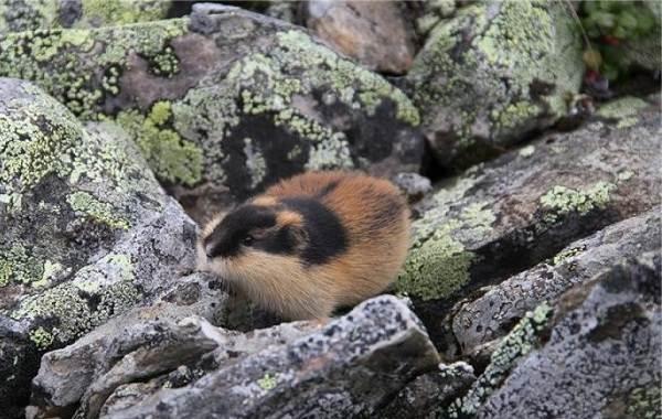 Лемминг-животное-Описание-особенности-виды-образ-жизни-и-среда-обитания-лемминга-8