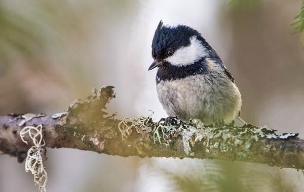 Московка-птица-Описание-особенности-виды-образ-жизни-и-среда-обитания-московки-1