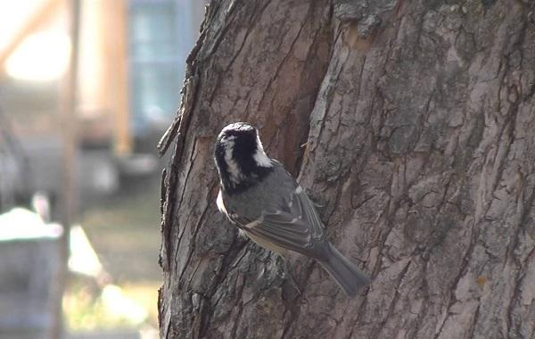 Московка-птица-Описание-особенности-виды-образ-жизни-и-среда-обитания-московки-11