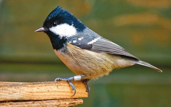 Московка-птица-Описание-особенности-виды-образ-жизни-и-среда-обитания-московки-2