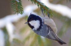 Московка птица. Описание, особенности, виды, образ жизни и среда обитания московки