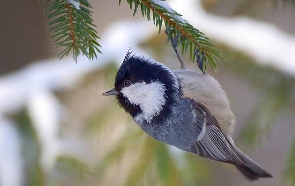 Московка-птица-Описание-особенности-виды-образ-жизни-и-среда-обитания-московки-4