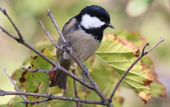 Московка-птица-Описание-особенности-виды-образ-жизни-и-среда-обитания-московки-5