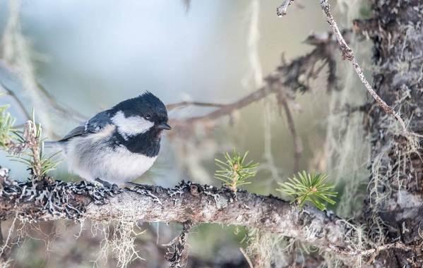 Московка-птица-Описание-особенности-виды-образ-жизни-и-среда-обитания-московки-6
