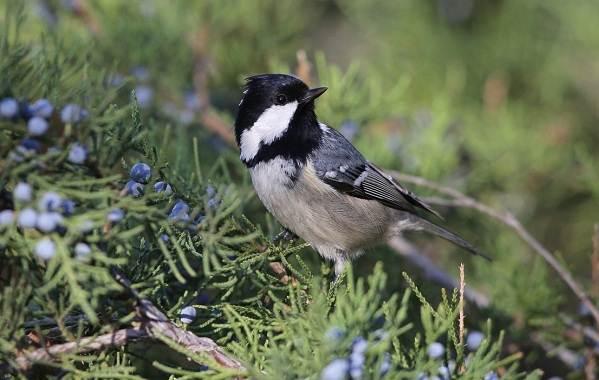 Московка-птица-Описание-особенности-виды-образ-жизни-и-среда-обитания-московки-8