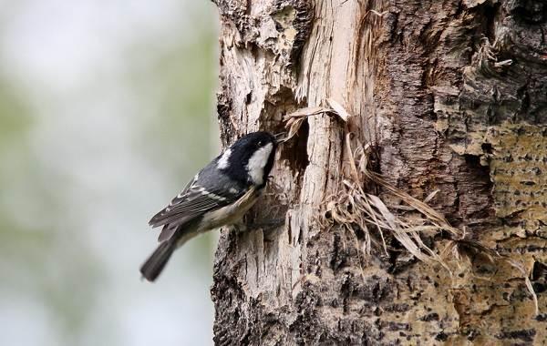 Московка-птица-Описание-особенности-виды-образ-жизни-и-среда-обитания-московки-9