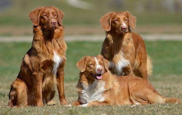 Новошотландский-ретривер-собака-Описание-особенности-виды-и-цена-породы-10