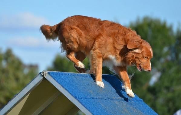 Новошотландский-ретривер-собака-Описание-особенности-виды-и-цена-породы-12