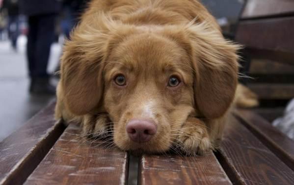 Новошотландский-ретривер-собака-Описание-особенности-виды-и-цена-породы-13
