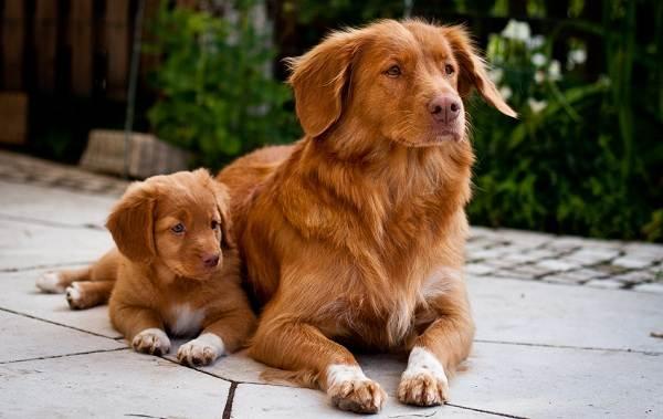 Новошотландский-ретривер-собака-Описание-особенности-виды-и-цена-породы-15