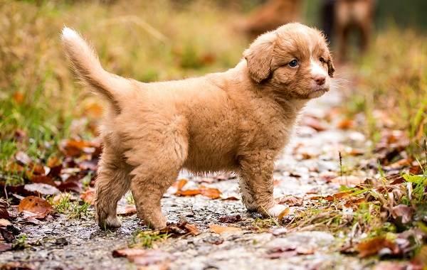 Новошотландский-ретривер-собака-Описание-особенности-виды-и-цена-породы-16