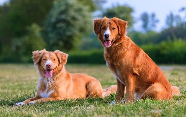 Новошотландский-ретривер-собака-Описание-особенности-виды-и-цена-породы-2
