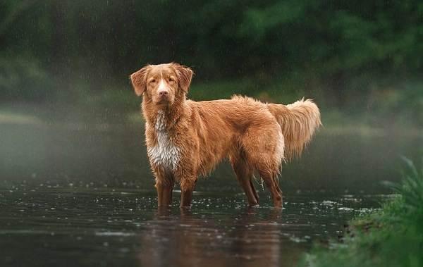 Новошотландский-ретривер-собака-Описание-особенности-виды-и-цена-породы-3