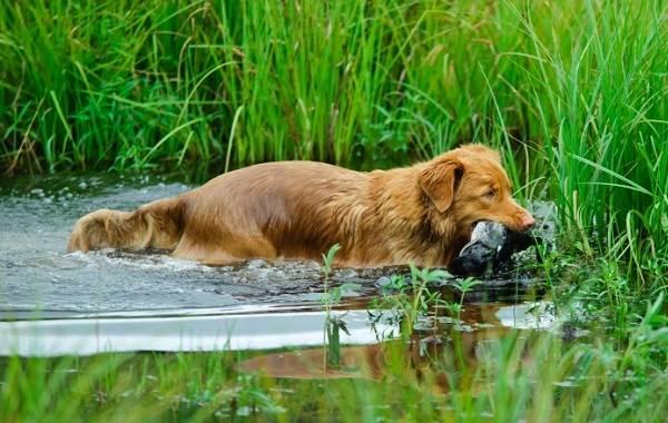 Новошотландский-ретривер-собака-Описание-особенности-виды-и-цена-породы-4