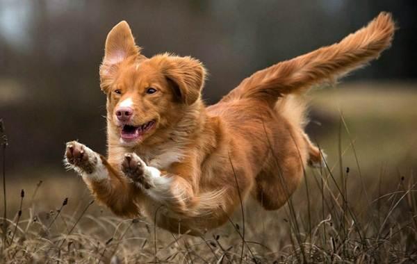 Новошотландский-ретривер-собака-Описание-особенности-виды-и-цена-породы-5
