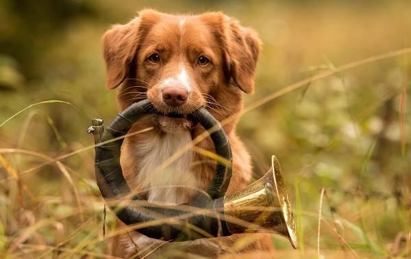 Новошотландский-ретривер-собака-Описание-особенности-виды-и-цена-породы-7