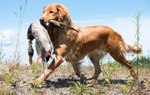 Новошотландский-ретривер-собака-Описание-особенности-виды-и-цена-породы-9