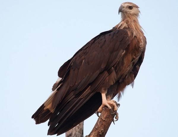 Орлан-птица-Описание-особенности-виды-образ-жизни-и-среда-обитания-орлана-10