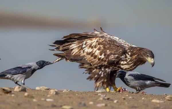 Орлан-птица-Описание-особенности-виды-образ-жизни-и-среда-обитания-орлана-13