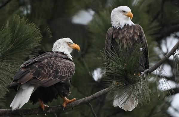 Орлан-птица-Описание-особенности-виды-образ-жизни-и-среда-обитания-орлана-14