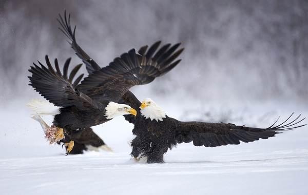 Орлан-птица-Описание-особенности-виды-образ-жизни-и-среда-обитания-орлана-16