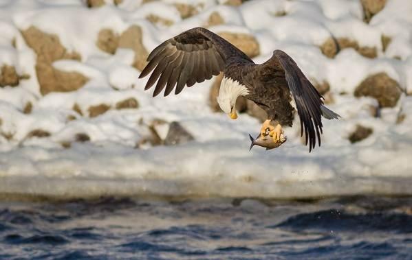 Орлан-птица-Описание-особенности-виды-образ-жизни-и-среда-обитания-орлана-17