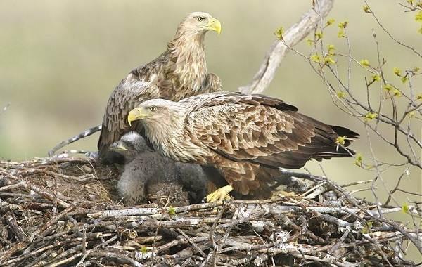 Орлан-птица-Описание-особенности-виды-образ-жизни-и-среда-обитания-орлана-18