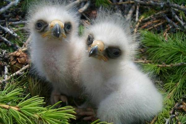 Орлан-птица-Описание-особенности-виды-образ-жизни-и-среда-обитания-орлана-20