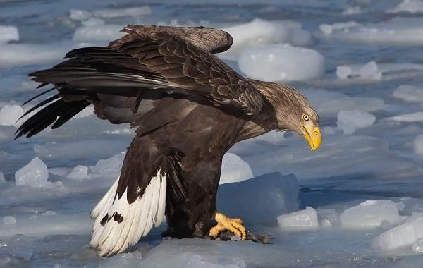 Орлан-птица-Описание-особенности-виды-образ-жизни-и-среда-обитания-орлана-5