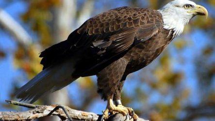 Орлан птица. Описание, особенности, виды, образ жизни и среда обитания орлана