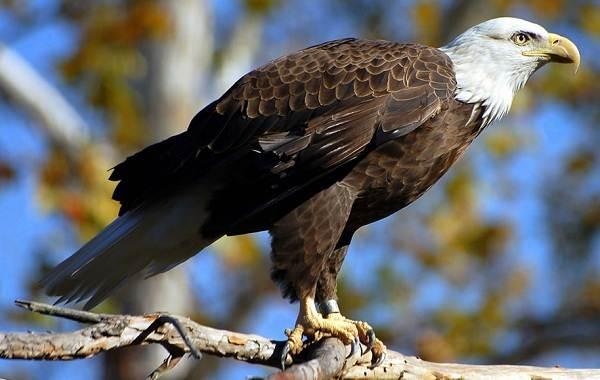 Орлан-птица-Описание-особенности-виды-образ-жизни-и-среда-обитания-орлана-6