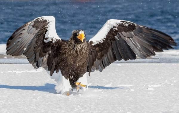 Орлан-птица-Описание-особенности-виды-образ-жизни-и-среда-обитания-орлана-8