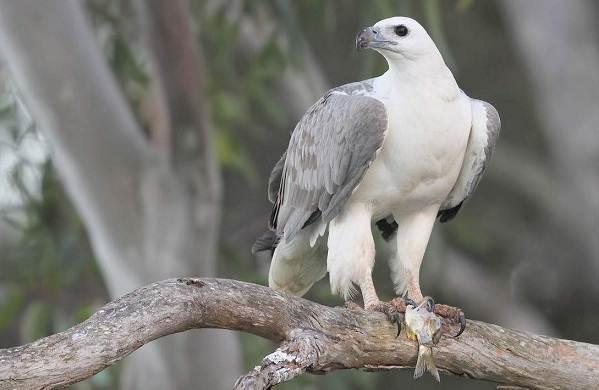 Орлан-птица-Описание-особенности-виды-образ-жизни-и-среда-обитания-орлана-9