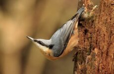 Поползень птица. Описание, особенности, виды, образ жизни и среда обитания поползня