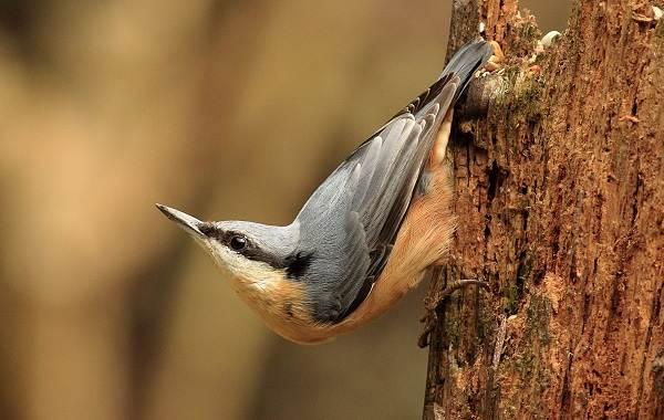 Поползень-птица-Описание-особенности-виды-образ-жизни-и-среда-обитания-поползня-1