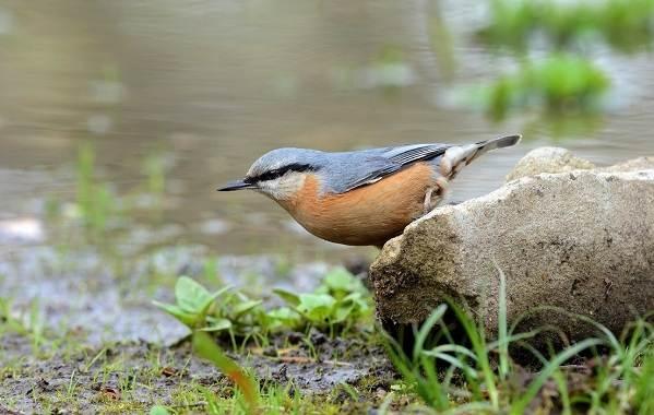 Поползень-птица-Описание-особенности-виды-образ-жизни-и-среда-обитания-поползня-10
