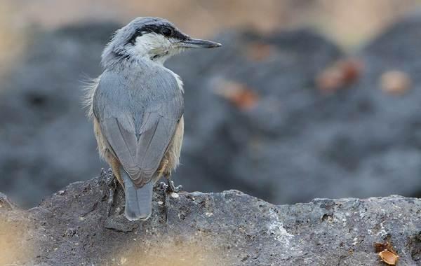 Поползень-птица-Описание-особенности-виды-образ-жизни-и-среда-обитания-поползня-11