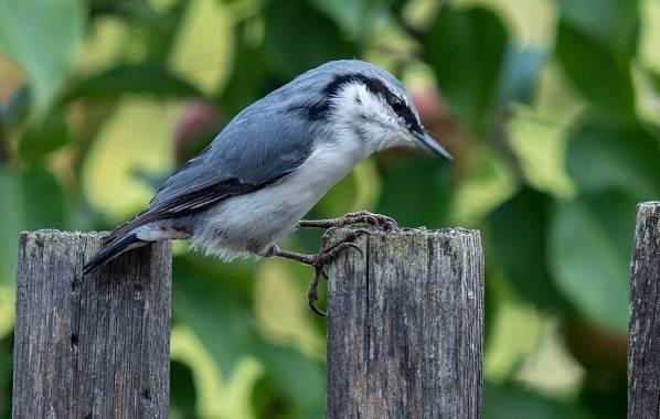 Поползень-птица-Описание-особенности-виды-образ-жизни-и-среда-обитания-поползня-15