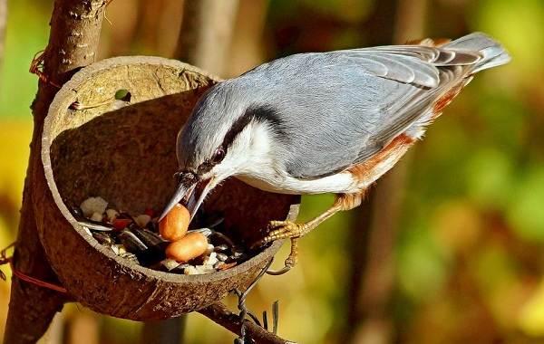 Поползень-птица-Описание-особенности-виды-образ-жизни-и-среда-обитания-поползня-16