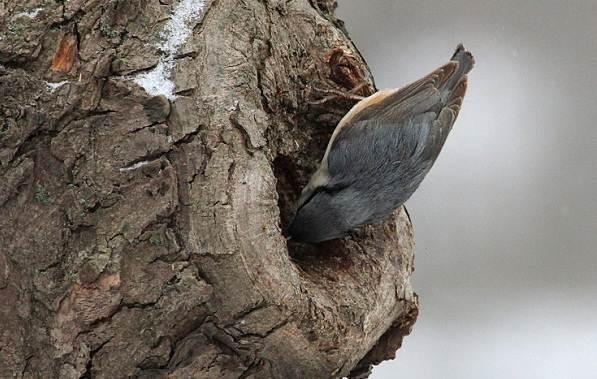 Поползень-птица-Описание-особенности-виды-образ-жизни-и-среда-обитания-поползня-18