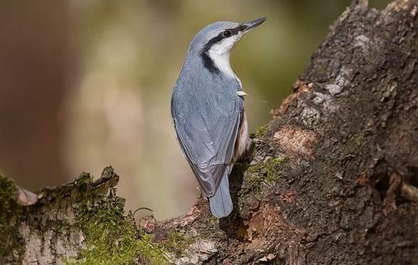 Поползень-птица-Описание-особенности-виды-образ-жизни-и-среда-обитания-поползня-2