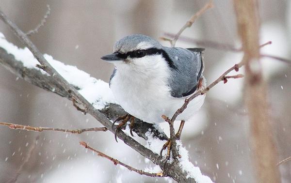 Поползень-птица-Описание-особенности-виды-образ-жизни-и-среда-обитания-поползня-20