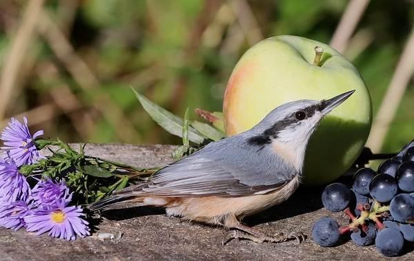 Поползень-птица-Описание-особенности-виды-образ-жизни-и-среда-обитания-поползня-4