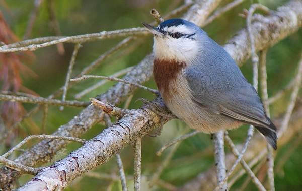 Поползень-птица-Описание-особенности-виды-образ-жизни-и-среда-обитания-поползня-5