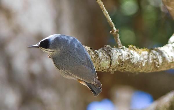 Поползень-птица-Описание-особенности-виды-образ-жизни-и-среда-обитания-поползня-7