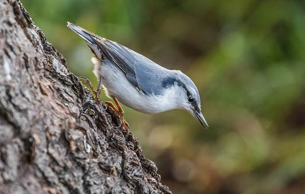 Поползень-птица-Описание-особенности-виды-образ-жизни-и-среда-обитания-поползня-9